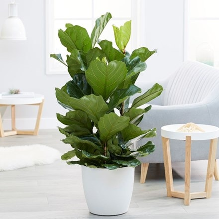 Ficus lyrata & pot cover combination