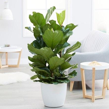 Ficus lyrata & pot cover combination