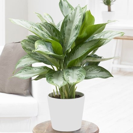 Aglaonema 'Jubilee Compacta' and pot cover