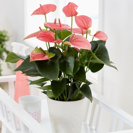 Anthurium 'Pink Champion' and pot cover
