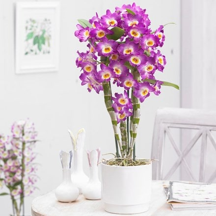 Dendrobium nobile 'Comet King' and pot cover