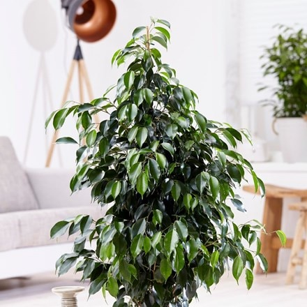 Ficus benjamina 'Danielle' and pot cover