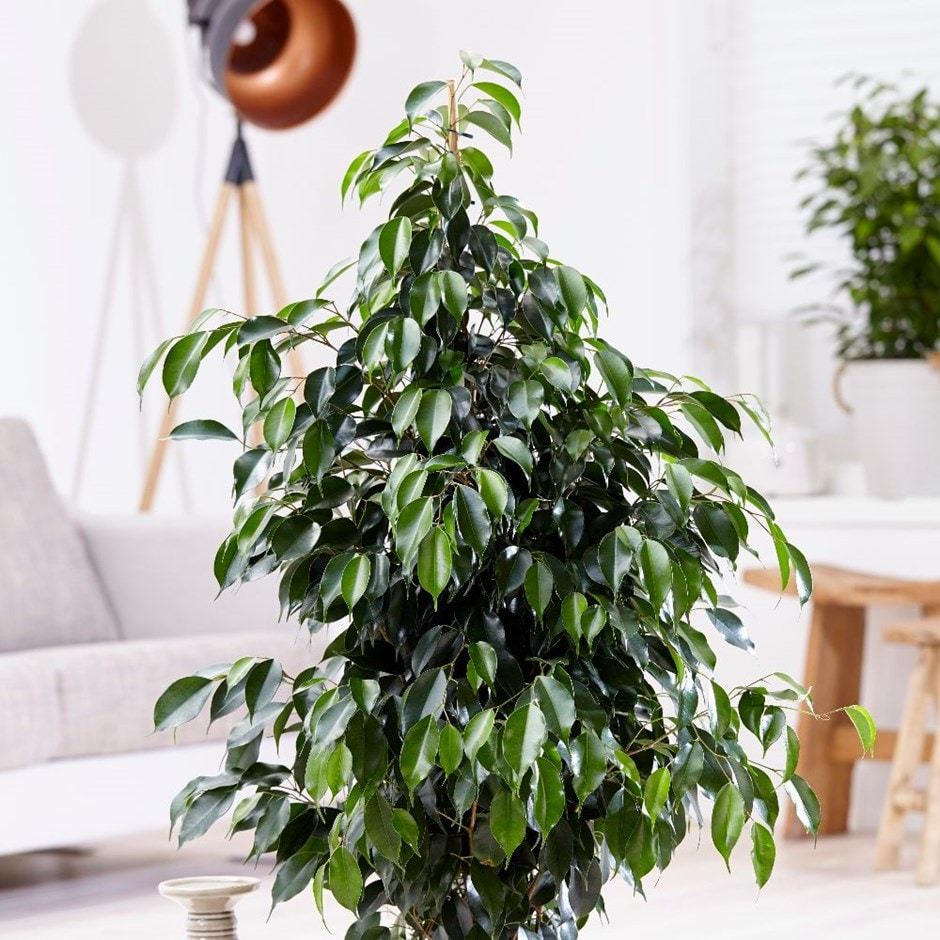 Ficus benjamina 'Danielle' - weeping fig & pot cover combination