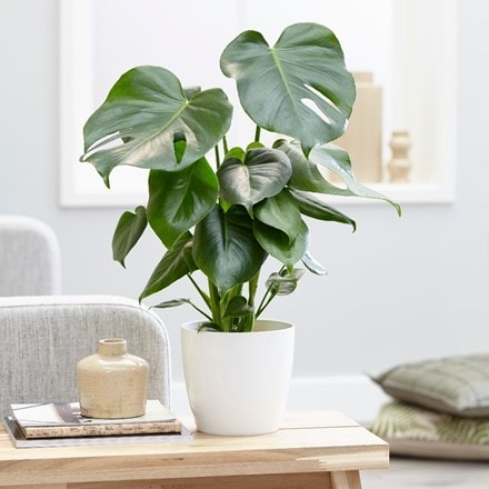 Monstera deliciosa and pot cover