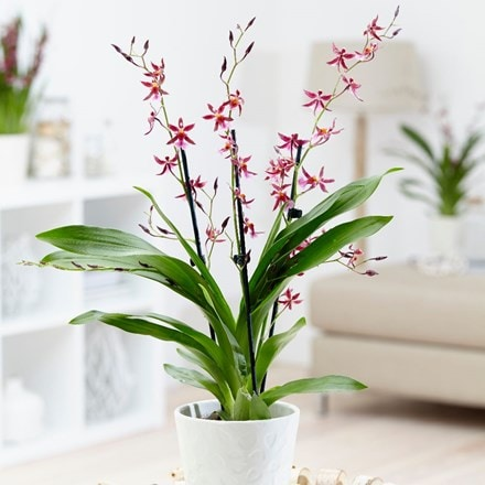 Oncidium 'Katarina Zoch' and pot cover
