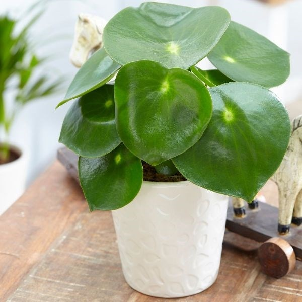 Peperomia polybotrya Raindrop and pot cover