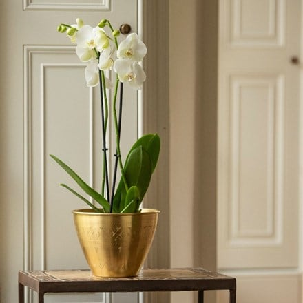 Phalaenopsis grandiflorum White and solid etched brass pot cover