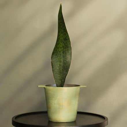 Sansevieria masoniana Victoria and cast aluminium pot cover