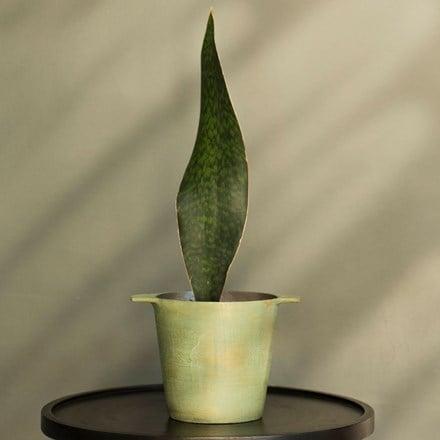 Sansevieria masoniana Victoria and cast aluminium pot cover