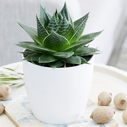 Aloe aristata Cosmo and pot cover