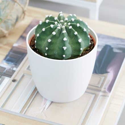 Echinopsis subdenudatum and pot cover