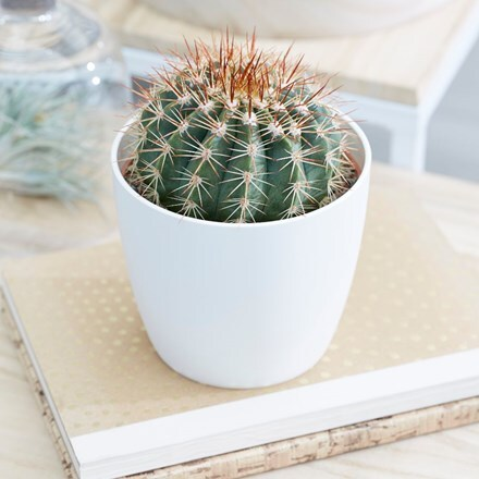 Melocactus broadwayi and pot cover