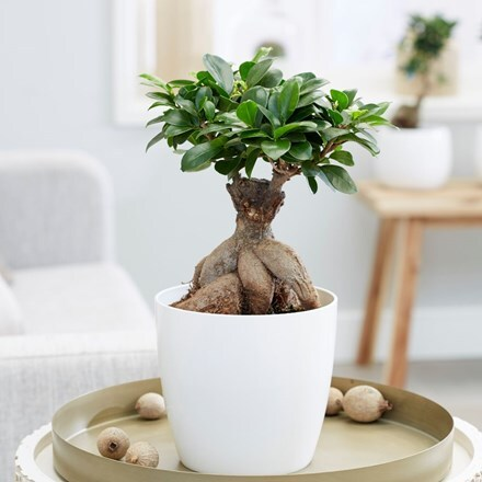 Ficus microcarpa 'Ginseng' and pot cover