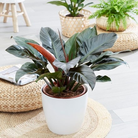Philodendron 'Imperial Red' and pot cover