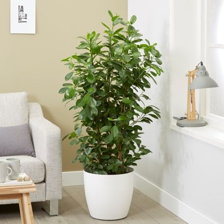 Ficus microcarpa Moclame and pot cover