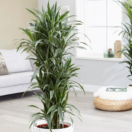Dracaena 'White Jewel'