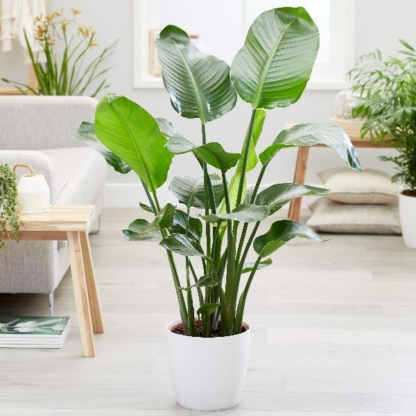 Strelitzia nicolai and pot cover