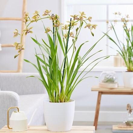 Cymbidium erythraeum and pot cover