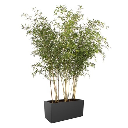 Phyllostachys aureosulcata f. aureocaulis and Vivo long matt trough planter