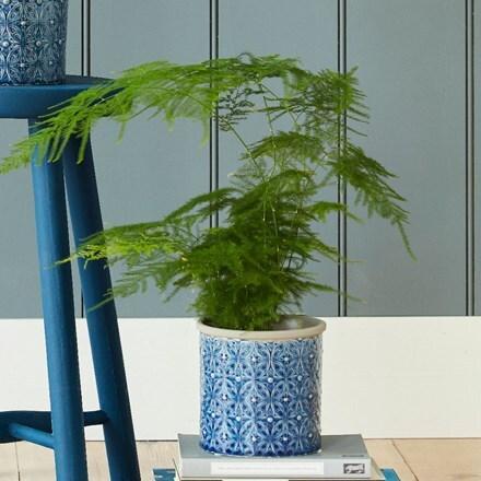 Asparagus setaceus and glazed pot