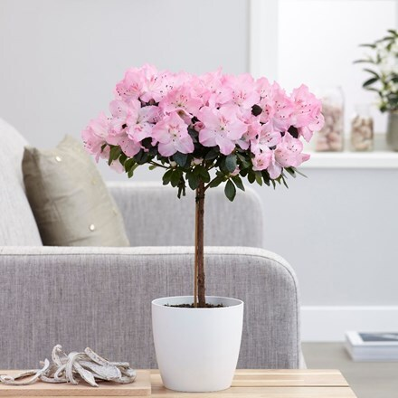 Azalea simsii standard pink and pot cover