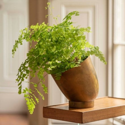 Adiantum raddianum Fragrantissimum and tilting pot with saucer