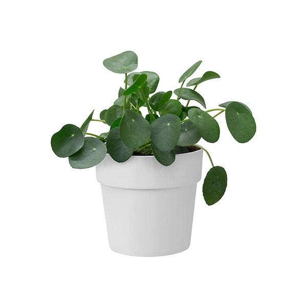 Pilea peperomioides and pot cover
