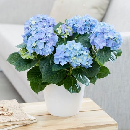 Hydrangea macrophylla Early Blue ('Hba 202911') and pot cover