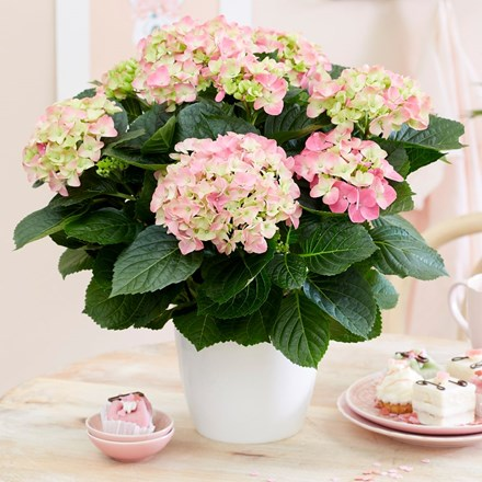 Hydrangea macrophylla 'Early Rosa' and pot cover