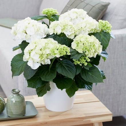 Hydrangea macrophylla 'Snowball' and pot cover