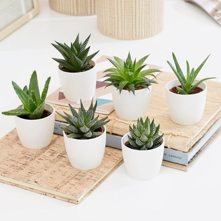 Aloe and Haworthia succulent collection and pot covers