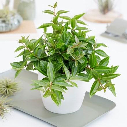 Peperomia angulata and pot cover