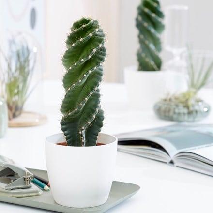 Cereus forbesii 'Spiralis' and pot cover