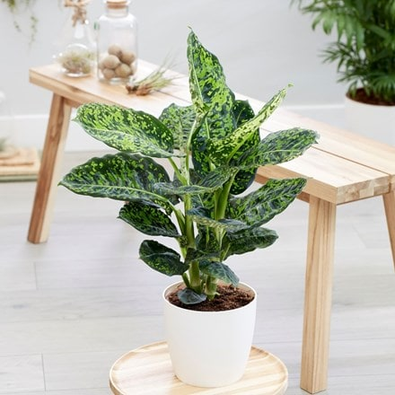 Dieffenbachia 'Reflector' and pot cover