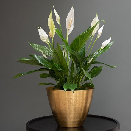 Spathiphyllum 'Bingo Cupido' & Solid etched brass pot cover