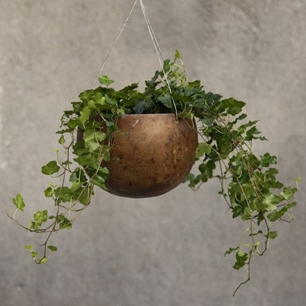 Hedera helix 'Wonder' - English ivy Hanging gourd bowl - small & English ivy