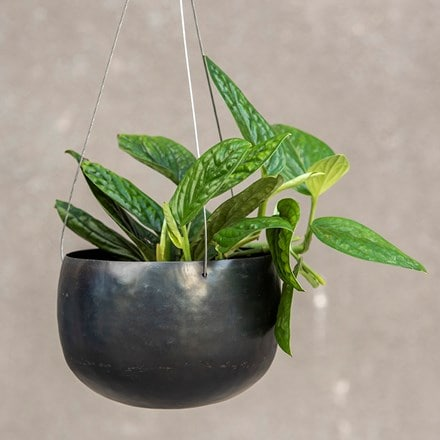 Hanging zinc bowl and devils ivy (syn scindapsus )