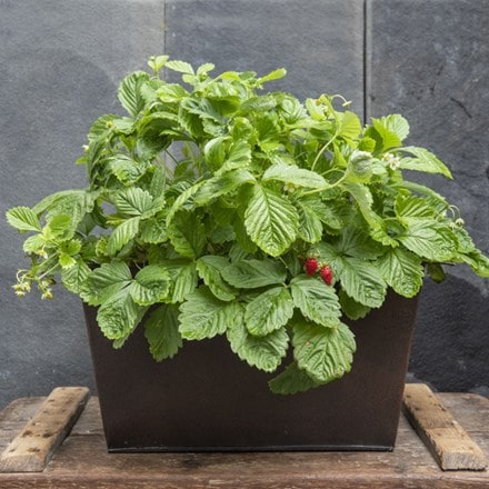 Plant trough & alpine strawberry - woodland