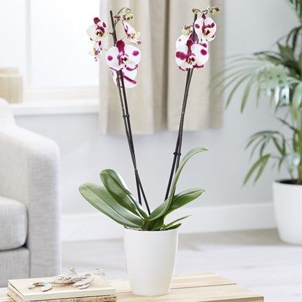 Phalaenopsis Ever-spring Fairy 'Elegant Polka Dots' and pot cover