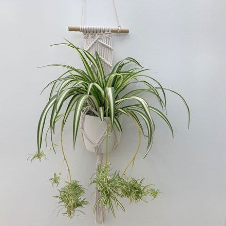 Chlorophytum 'Variegatum' with pot cover and macrame pot hanger