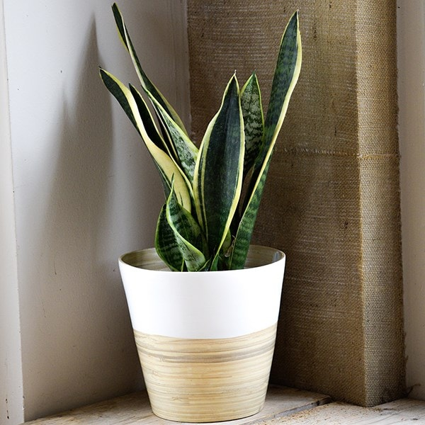 Sansevieria trifasciata var. laurentii and pot cover