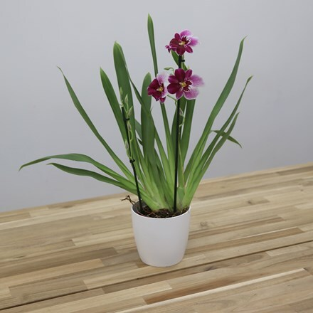 Miltonia Princess Diana and pot cover