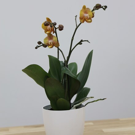 Phalaenopsis Las Vegas and Pot cover