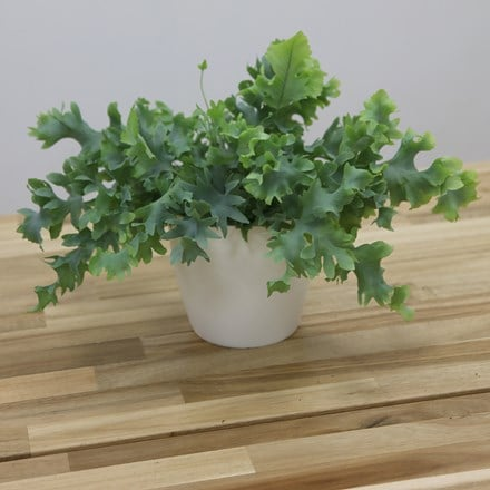 Phlebodium aureum Davana and pot cover