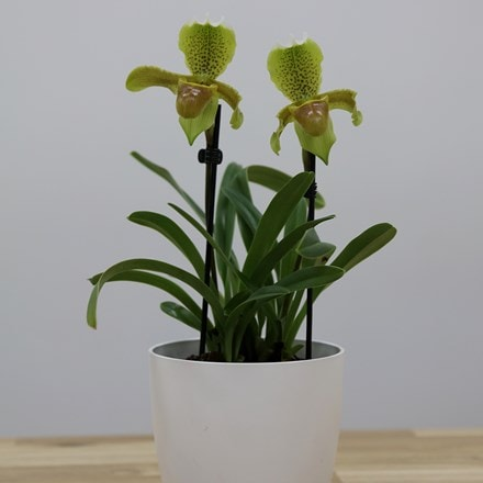 Paphiopedilum Florida and pot cover