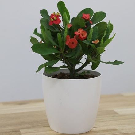 Euphorbia milii Vulcanus and pot cover