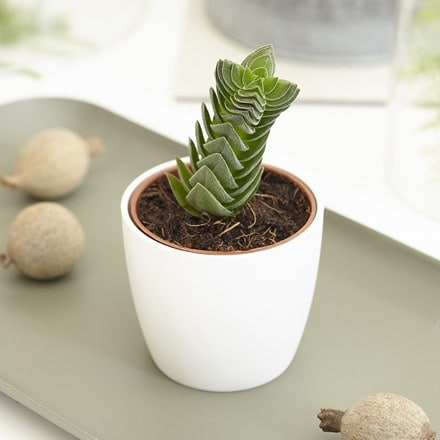 Crassula Buddha's Temple and pot cover