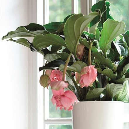 Medinilla magnifica and pot cover