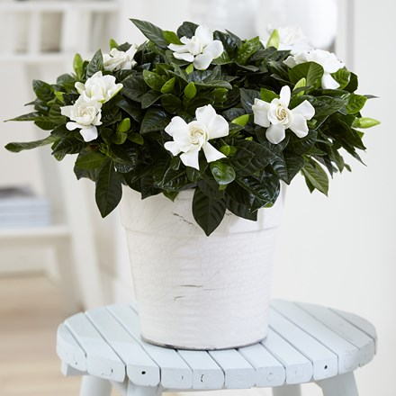 Gardenia jasminoides and pot cover
