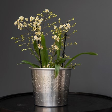 Oncidium Twinkle Jasmine and pot cover